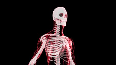 fizik : This aniamtion shows incredible translucent detail of the human skeleton in 3D. Seamless looping video animation of X-Ray of Human skeleton on black background (HD).-