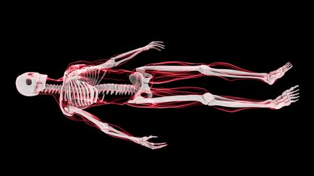 anatomia : This aniamtion shows incredible translucent detail of the human skeleton in 3D. Seamless looping video animation of X-Ray of Human skeleton on black background (HD).-
