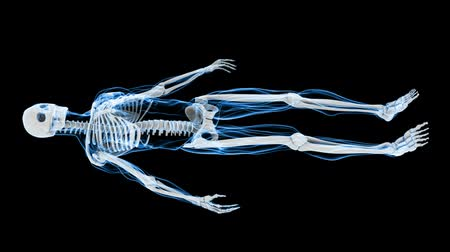 forma tridimensional : This aniamtion shows incredible translucent detail of the human skeleton in 3D. Seamless looping video animation of X-Ray of Human skeleton on black background (HD).-