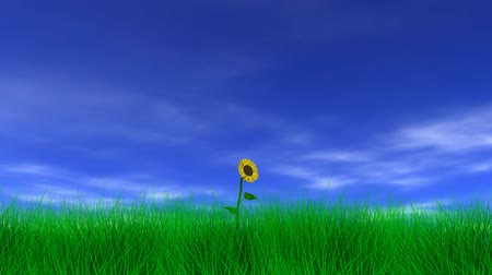 подсолнухи : Sunflower gently swaying in the breeze with blue sky, clouds and grass. 3D animation, Seamless looping animation.