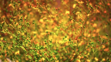 selektif : Beautiful Wildflowers swaying in the Wind at Sunset. Shot on HD 1080P.--
