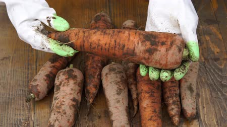 A farmer holds a biological product of carrots, hands and carrots contaminated with earth. Close-up of carrots in hands. Vegetables harvested in the fall. 4k 30fps