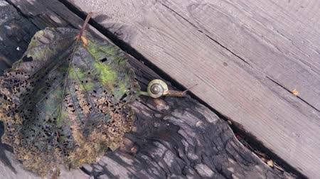 snail crawling on the autumn leaf and on a tree on a sunny autumn day.4k,24fps. Stok Video