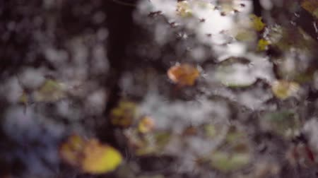 canadian maple leaf : Wet leaves in autumn forest after rainfall. Raining onto red and yellow tree leaves in rainy fall. Water drops dropping off stunning vibrant maple tree leaves in autumn forest.4k,24fps.