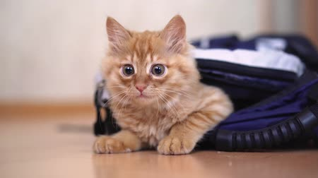 Funny red kitten in a backpack with photographic equipment plays looks sitting.