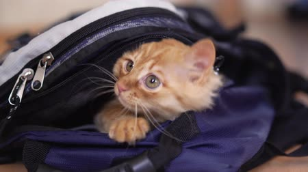 mavi arka : Funny red kitten in a backpack with photographic equipment plays looks sitting.