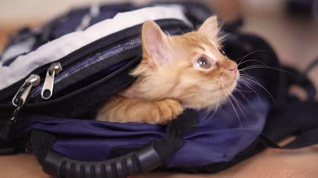photographic : Funny red kitten in a backpack with photographic equipment plays looks sitting.