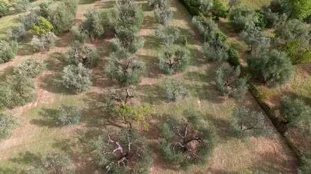 minas gerais : Aerial shot above olive trees in summer