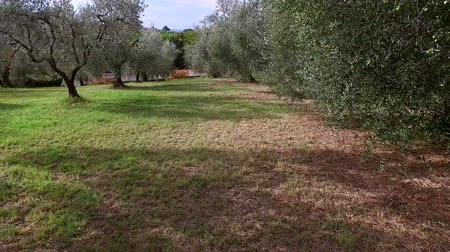 minas gerais : Flying between beautiful olive oil trees Stock Footage
