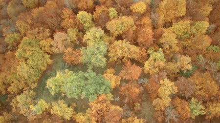 alpes : Aerial shot of beechs Autumn forest in the mountains Stock Footage