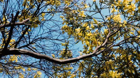 botanics : native Australian wattle tree in full bloom with typical yellow flowers on a sunny blue sky day, camera panning around the tree Stock Footage