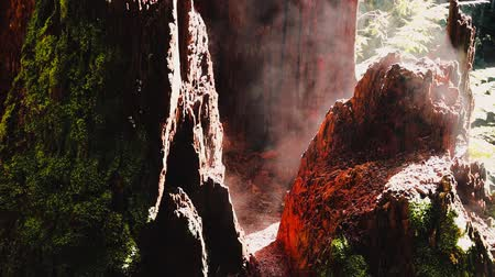 tasmania : tree trunk in rainforest setting with moss steaming from the hot sunshine, shot in Australia Stock Footage