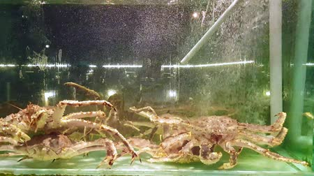 когти : 4k UHD footage of  Giant Snow Crab in the tank (Chionoecetes opilio)
