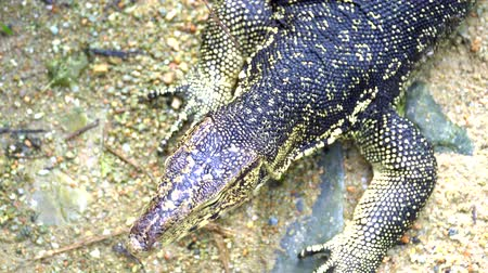 4k uhd of Asian water monitor (Varanus salvator)