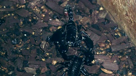 they : 4k UHD of Scorpion (Heterometrus)