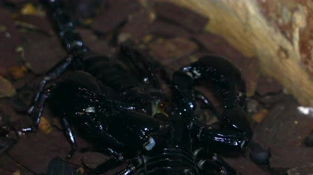 they : 4k UHD of Scorpion (Heterometrus) fighting Stock Footage