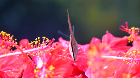 monarca : 4k UHD of Butterfly Arhopala on a hibiscus Stock Footage