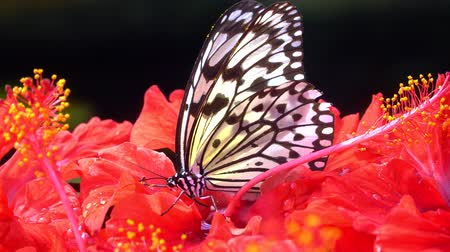 américa central : 4k UHD of Butterfly Chilasa clytia clytia (Common Mime) on a hibiscus