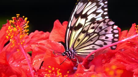 4k UHD of Butterfly Chilasa clytia clytia (Common Mime) on a hibiscus
