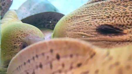 scatters : The giant moray eel (Gymnothorax javanicus) in the restaurant aquarium Stock Footage