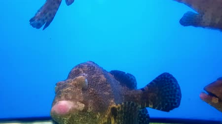 morina : Spotted Fish Grouper (Epinephelus coioides) swimming in aquarium