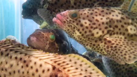 plavat : Spotted Fish Grouper (Epinephelus coioides) swimming in aquarium