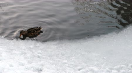 kaczka : Ducks swimming on ice pond in winter