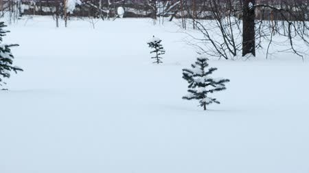 alkony : Forest glade with a small pine tree in the snow in winter.