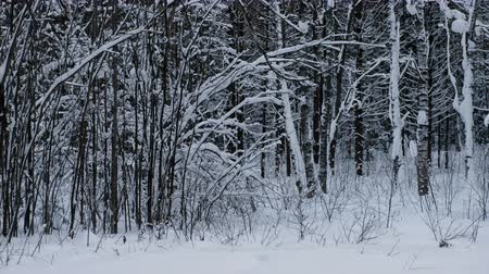 mírumilovnost : Winter snow landscape in the forest with snowdriftsand trees. Dostupné videozáznamy