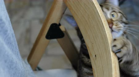 prowl : Striped cat playing on chair. Pets at home.