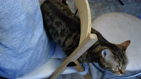 prowl : Closeup of a striped cat on a chair behind the owner.
