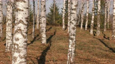 wood glade : Birch grove in the spring forest.