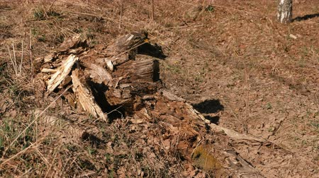 dead wood : Rotten old tree stump in the forest. Stock Footage