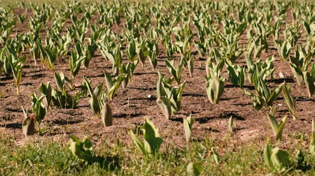tillage : Flower bed with seedlings of tulips in early spring.