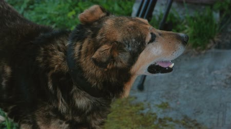 bastante : Big beautiful dog with an open mouth. Stock Footage