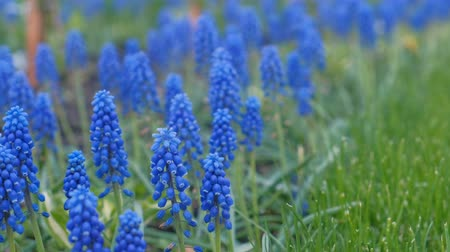 perene : Beautiful blue wildflowers close-up. Stock Footage