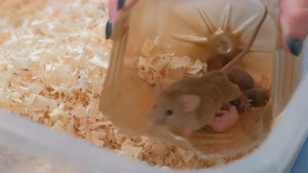 место : Mouse feed her little newborn mice with milk in plastic house in terrarium.