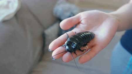 deceased : Male of Gromphadorhina portentosa the hissing cockroach, one of the largest species of Madagascar cockroach. Sits on womans hand.