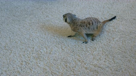 животные в дикой природе : Meerkat eats a Madagascar cockroach on a white carpet at home.