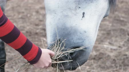 suporte : Horse eating hay from a womans hand.
