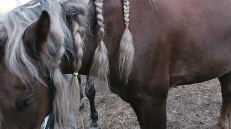 arabian horses : Braids on the mane of a horse.