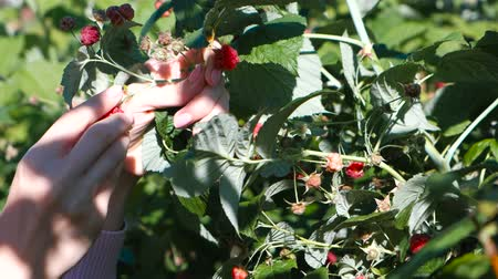 dacha : Young woman eats raspberries, tearing it from the bushes in the country. Close-up hands. Stock Footage