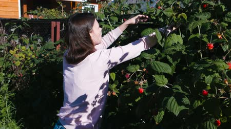 dacha : Young brunette woman eats raspberries, tearing it from the bushes in the country. Stock Footage