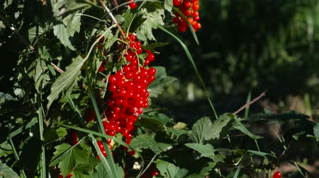 смородина : Red currant bushes with ripe berries.