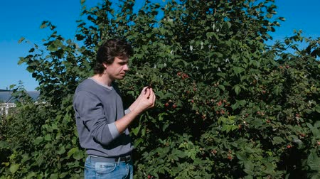 dacha : Young brunet man eats raspberries, tearing it from the bushes in the country.