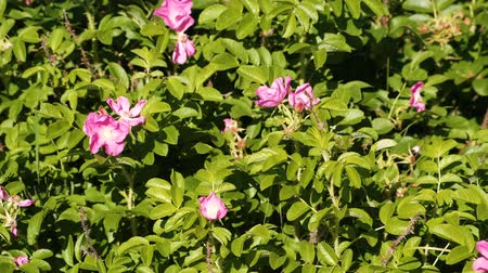 ditch : Bush with beautiful pink flowers of wild rose. Close-up. Stock Footage