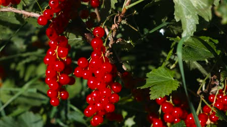 Red currant bushes with ripe berries.
