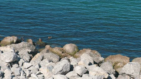anas platyrhynchos : Sea shore with huge rocks and floating ducks.