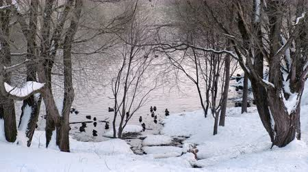 srážky : Close-up view of the pond with ducks through the trees in the winter city park.
