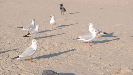 mobbing : Birds crows and seagulls eat bread on the sandy dune beach. Wideo